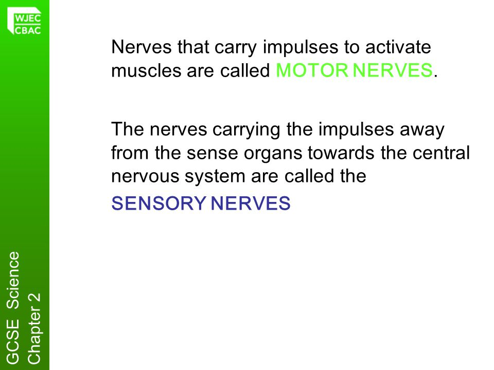 Nerves that carry impulses to activate muscles are called MOTOR NERVES.