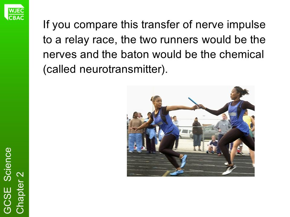 If you compare this transfer of nerve impulse