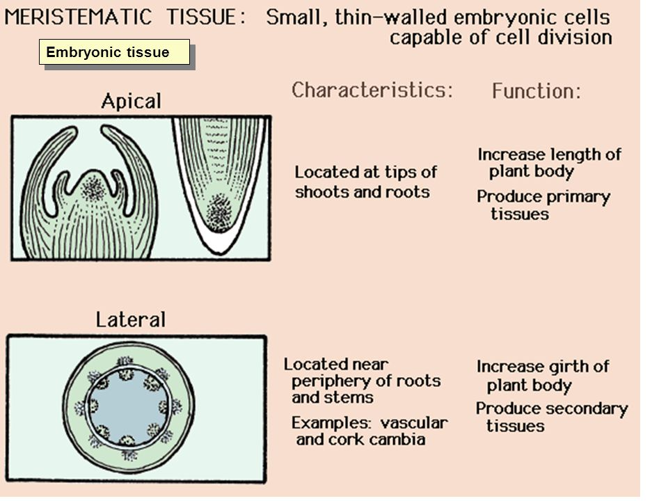 Embryonic tissue