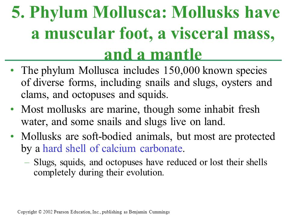 5. Phylum Mollusca: Mollusks have a muscular foot, a visceral mass, and a mantle