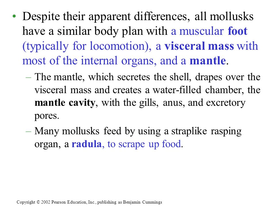 Despite their apparent differences, all mollusks have a similar body plan with a muscular foot (typically for locomotion), a visceral mass with most of the internal organs, and a mantle.