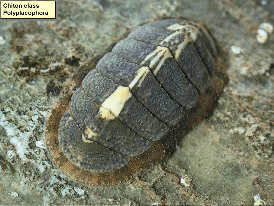 Chiton class Polyplacophora