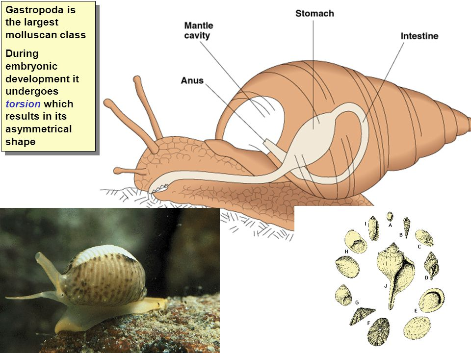 Gastropoda is the largest molluscan class