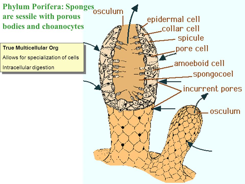 Phylum Porifera: Sponges are sessile with porous bodies and choanocytes