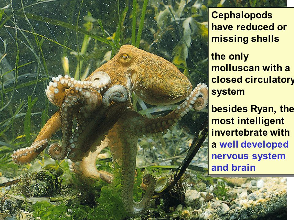 Cephalopods have reduced or missing shells