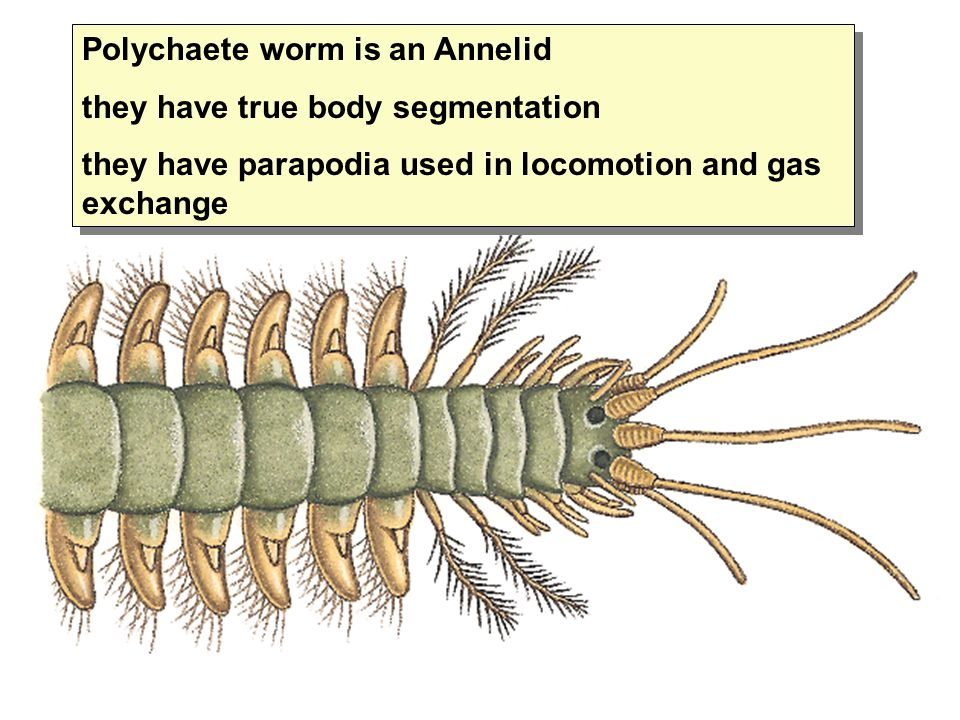 Polychaete worm is an Annelid