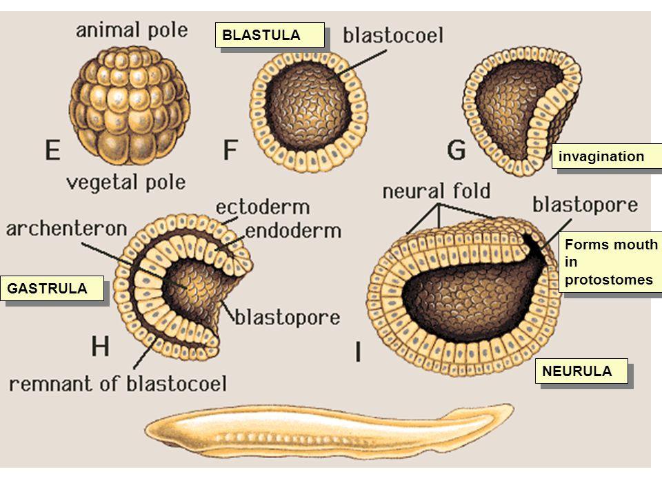 BLASTULA invagination Forms mouth in protostomes GASTRULA NEURULA