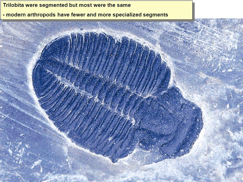 Trilobita were segmented but most were the same