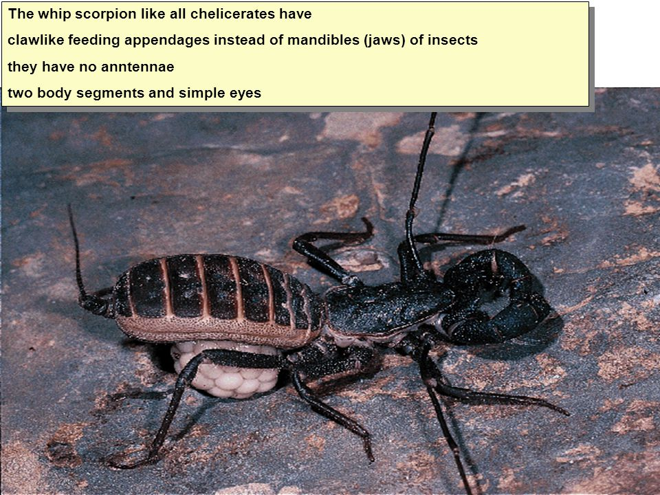 The whip scorpion like all chelicerates have