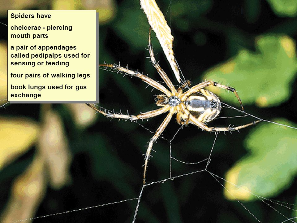 Spiders have cheicerae - piercing mouth parts. a pair of appendages called pedipalps used for sensing or feeding.