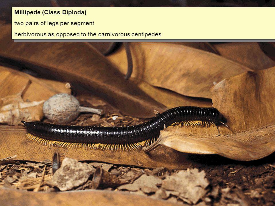 Millipede (Class Diploda)