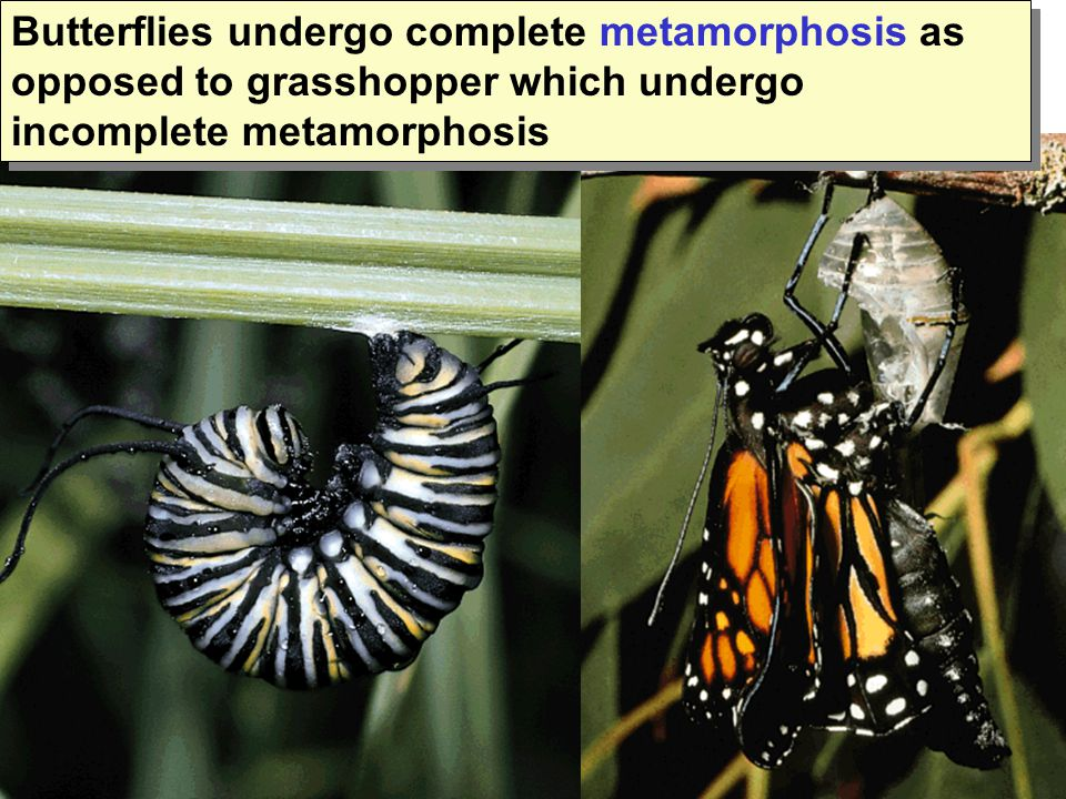 Butterflies undergo complete metamorphosis as opposed to grasshopper which undergo incomplete metamorphosis