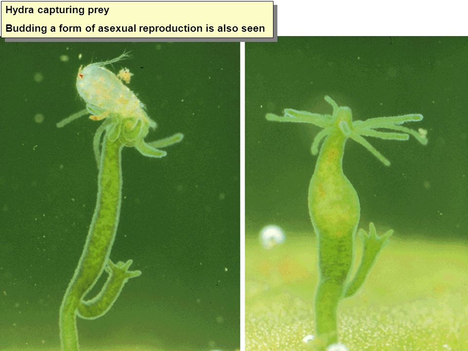 Hydra capturing prey Budding a form of asexual reproduction is also seen