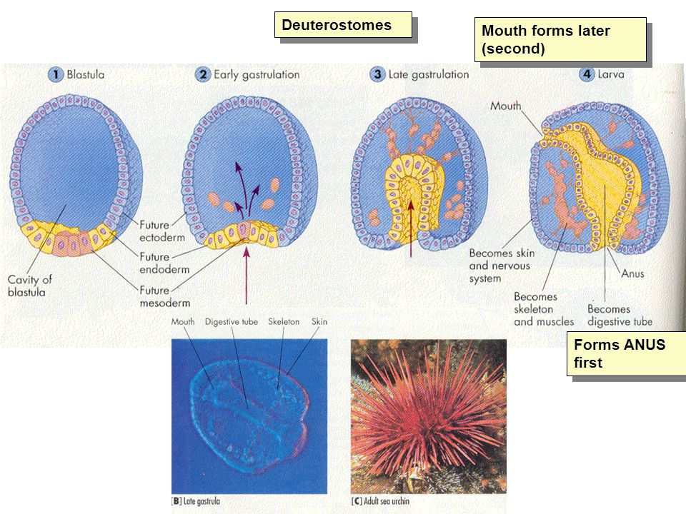 Deuterostomes Mouth forms later (second) Forms ANUS first