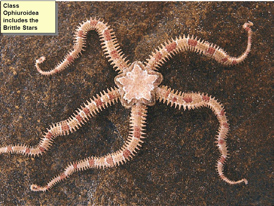 Class Ophiuroidea includes the Brittle Stars