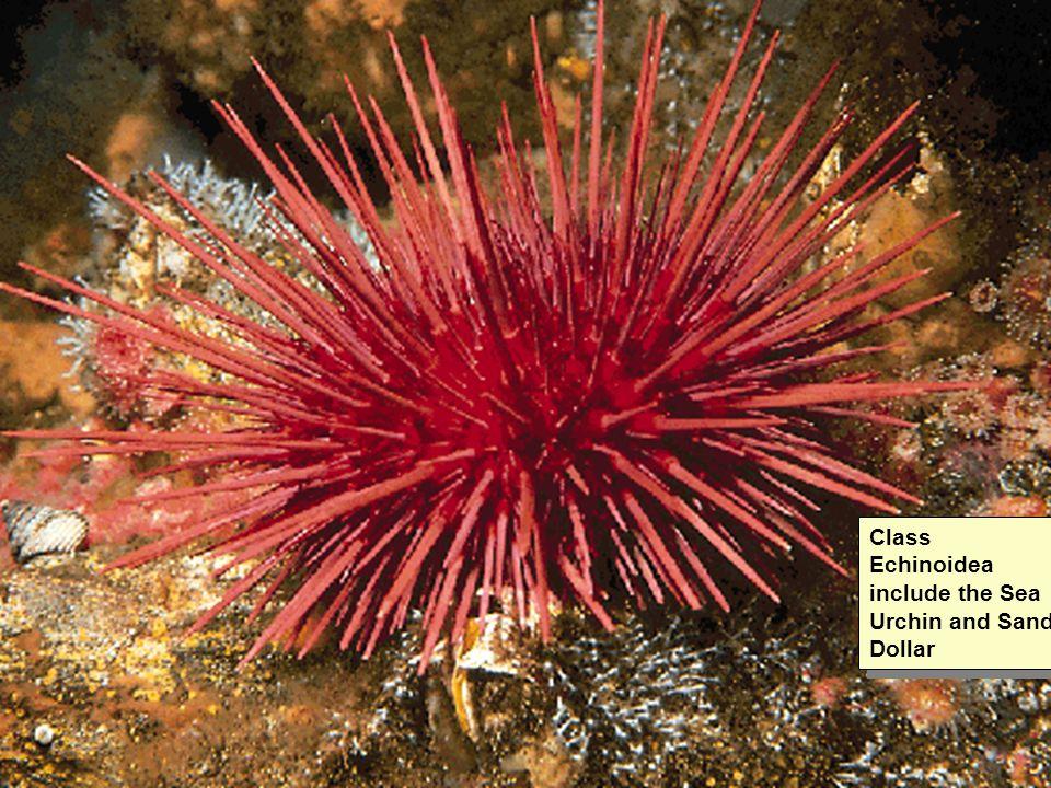 Class Echinoidea include the Sea Urchin and Sand Dollar
