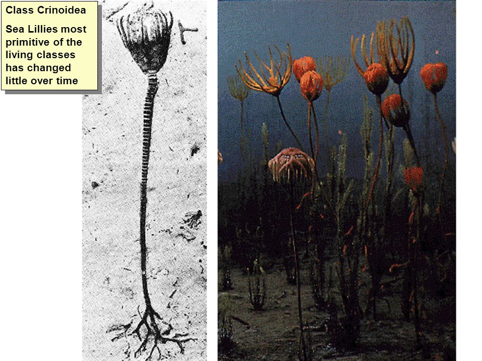 Class Crinoidea Sea Lillies most primitive of the living classes has changed little over time