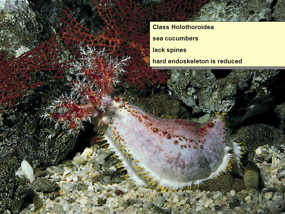 Class Holothoroidea sea cucumbers lack spines hard endoskeleton is reduced