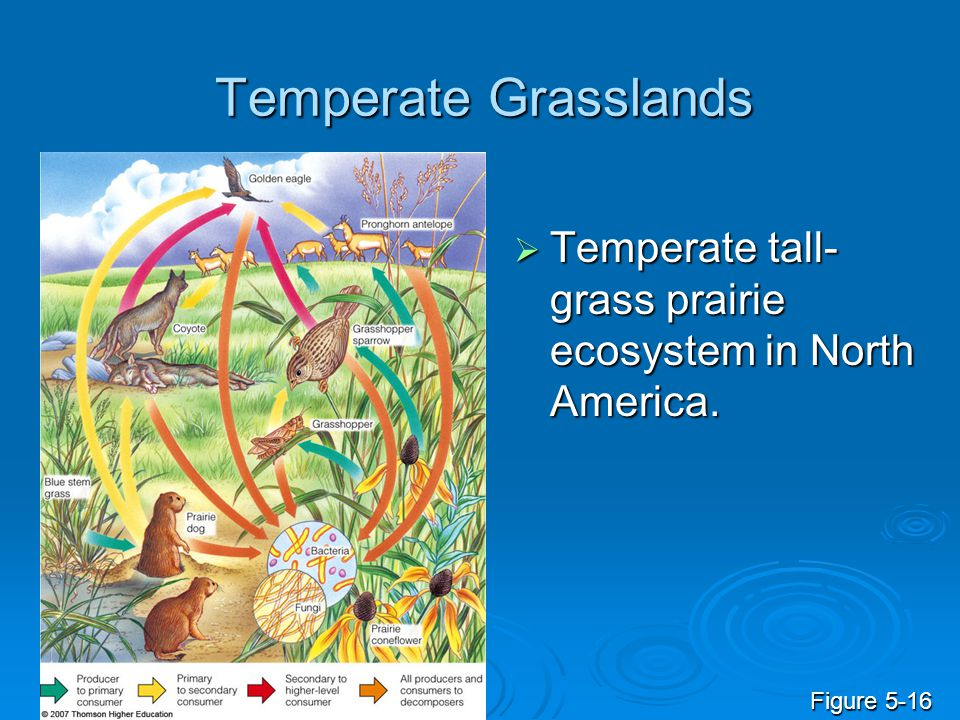 Temperate Grasslands Temperate tall-grass prairie ecosystem in North America. Figure 5-16