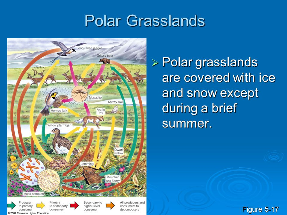 Polar Grasslands Polar grasslands are covered with ice and snow except during a brief summer.