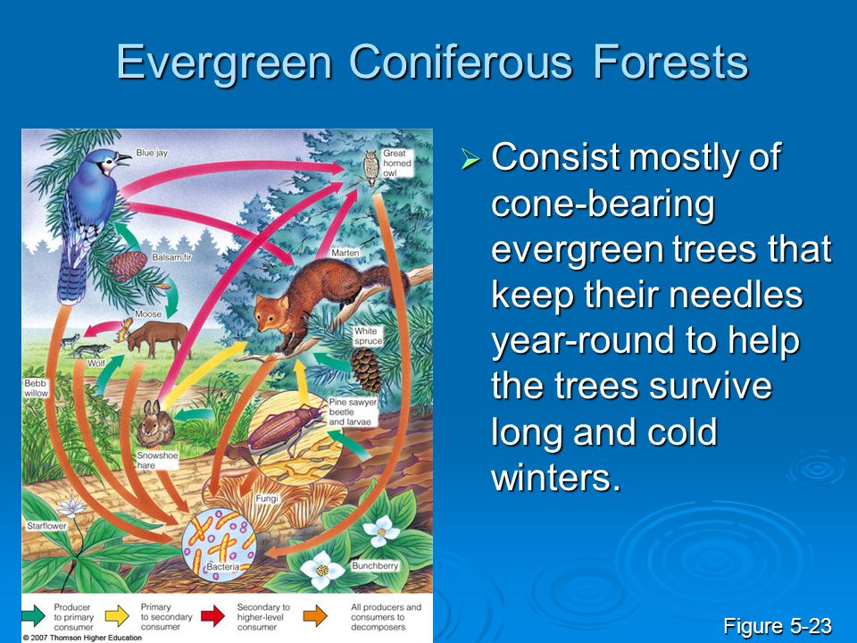 Evergreen Coniferous Forests