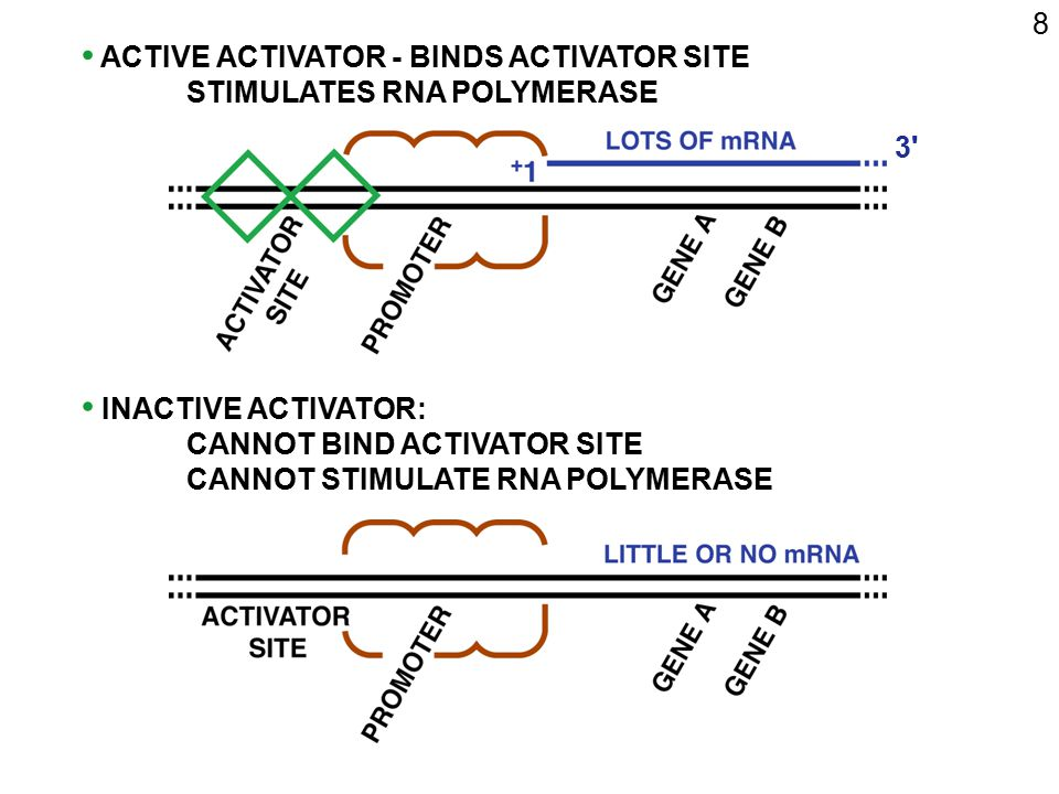 8 ACTIVE ACTIVATOR - BINDS ACTIVATOR SITE. STIMULATES RNA POLYMERASE. 3 INACTIVE ACTIVATOR: CANNOT BIND ACTIVATOR SITE.