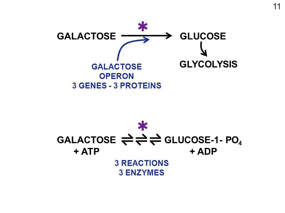 GALACTOSE GLUCOSE GLYCOLYSIS GALACTOSE + ATP GLUCOSE-1- PO4 + ADP