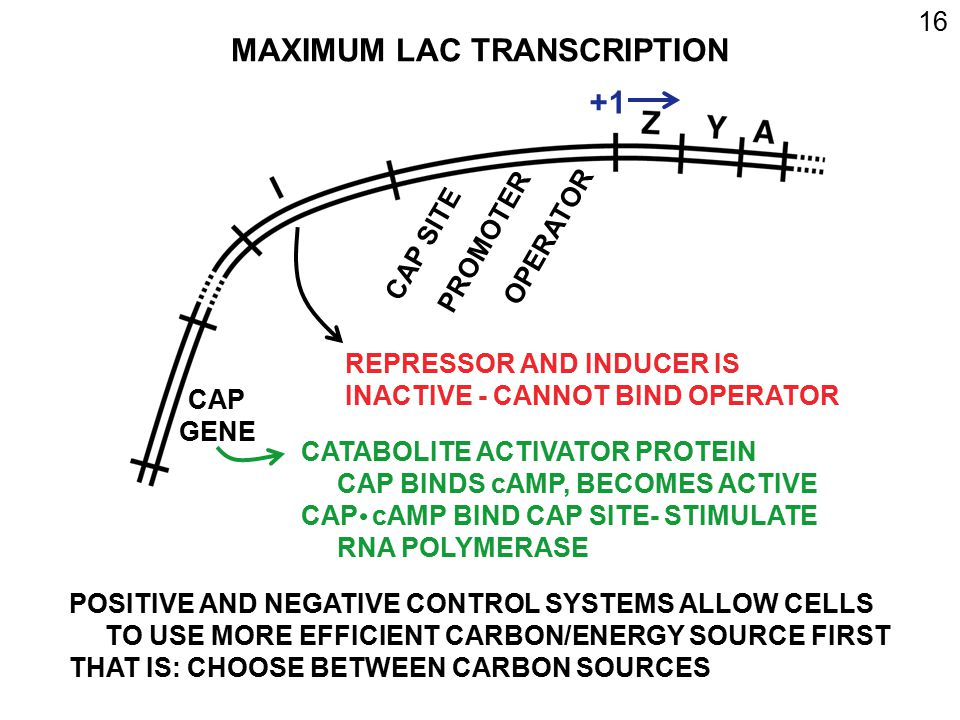 MAXIMUM LAC TRANSCRIPTION