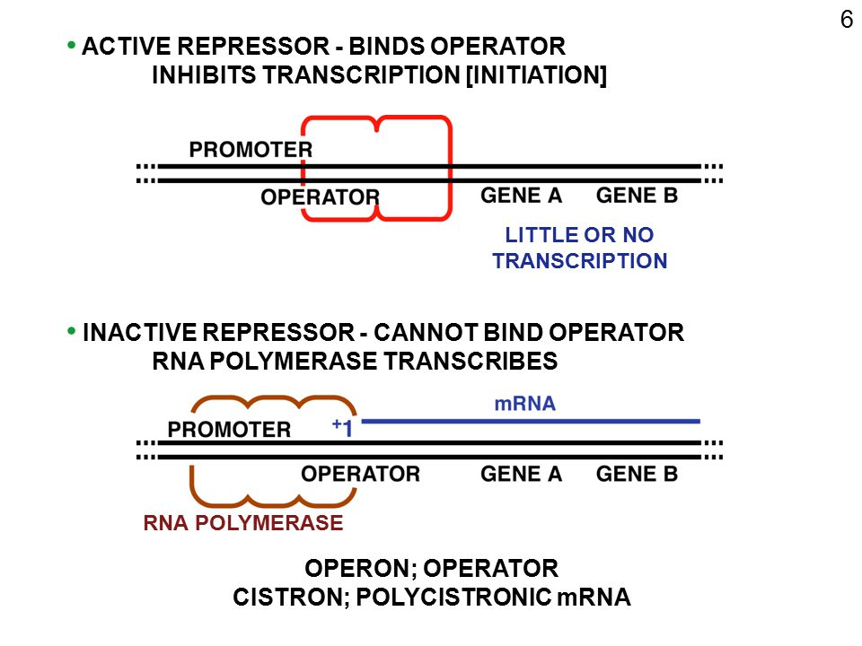 LITTLE OR NO TRANSCRIPTION CISTRON; POLYCISTRONIC mRNA