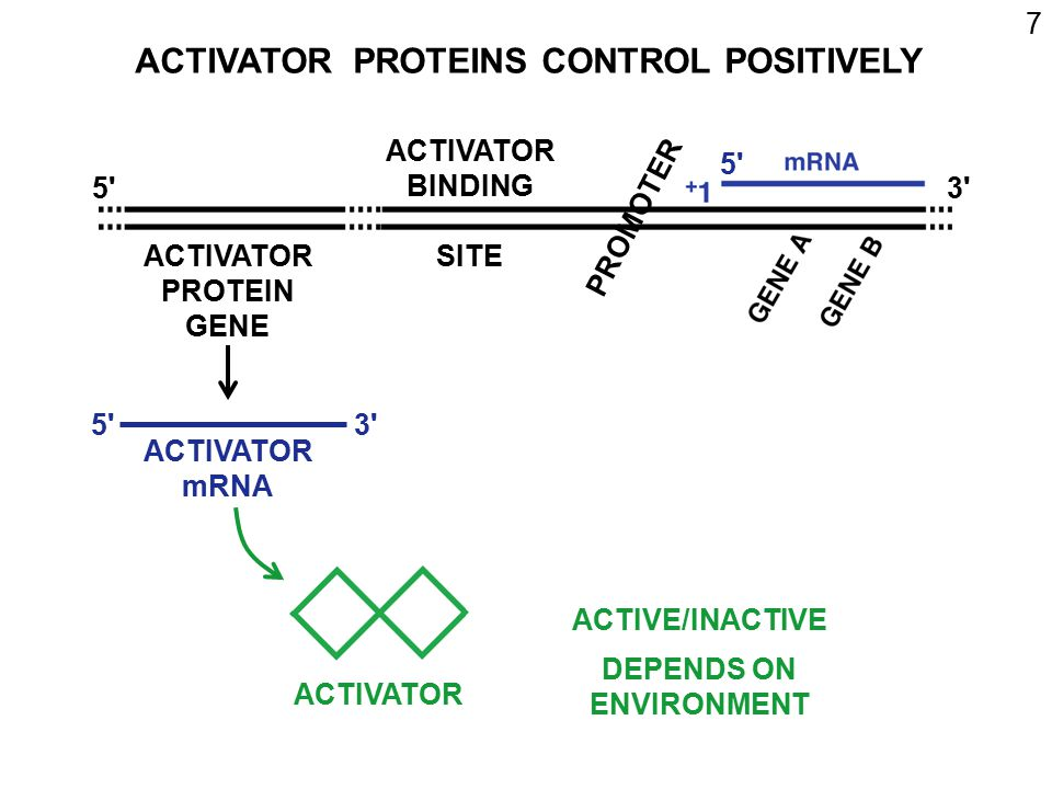 ACTIVATOR PROTEINS CONTROL POSITIVELY
