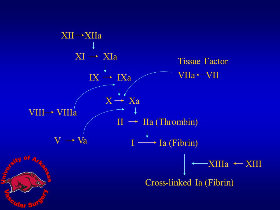 XII XIIa. XI. XIa. Tissue Factor. VIIa. VII. IX. IXa. X. Xa. VIII. VIIIa. II. IIa (Thrombin)