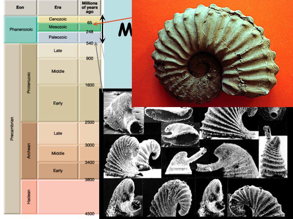 Fossils Mollusks