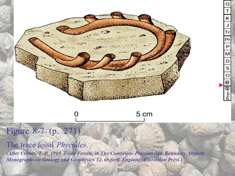Figure 8-7 (p. 271) The trace fossil Phycodes. (After Crimes, T. P