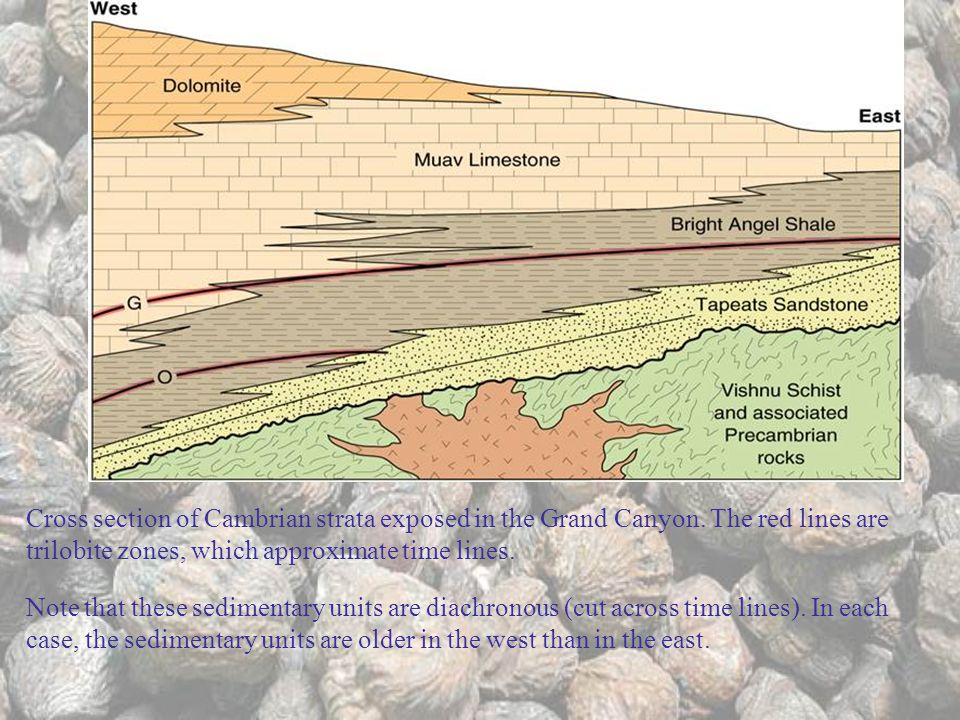 Cross section of Cambrian strata exposed in the Grand Canyon