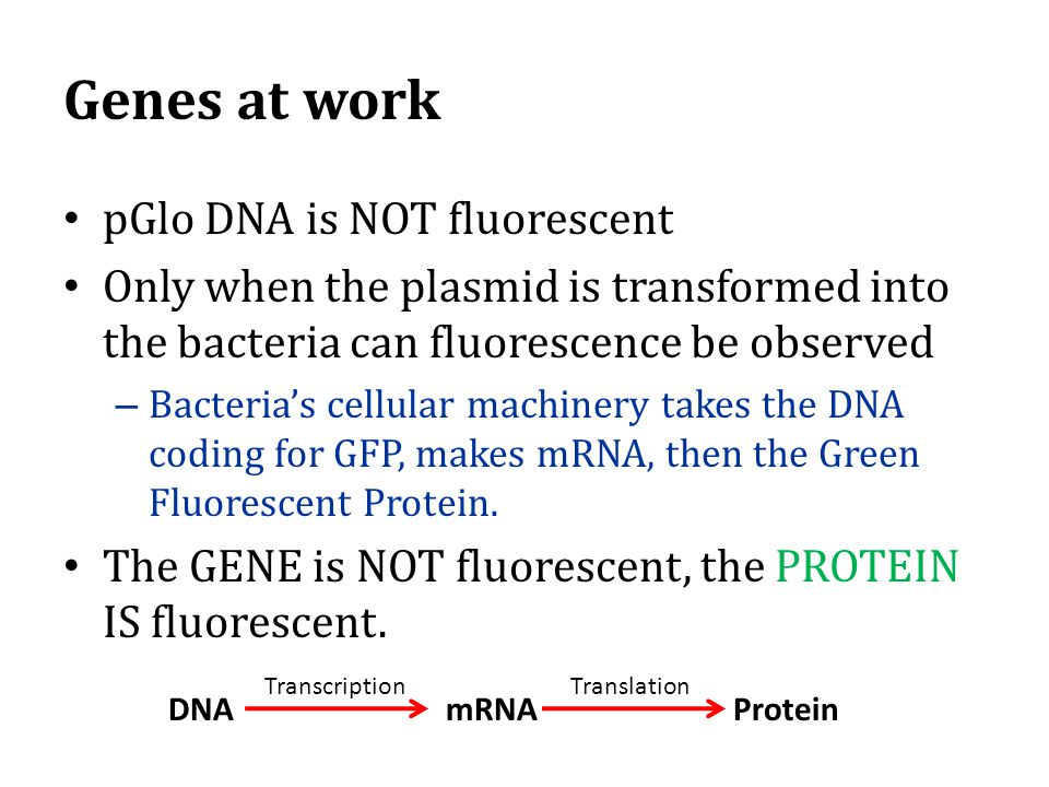 Genes at work pGlo DNA is NOT fluorescent