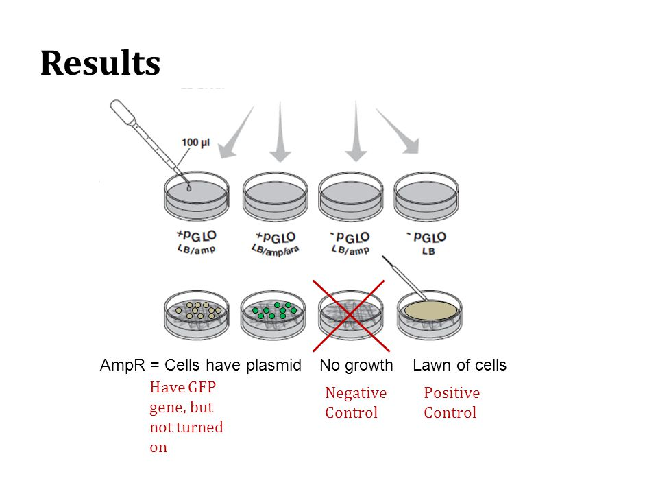 Results No growth Lawn of cells AmpR = Cells have plasmid