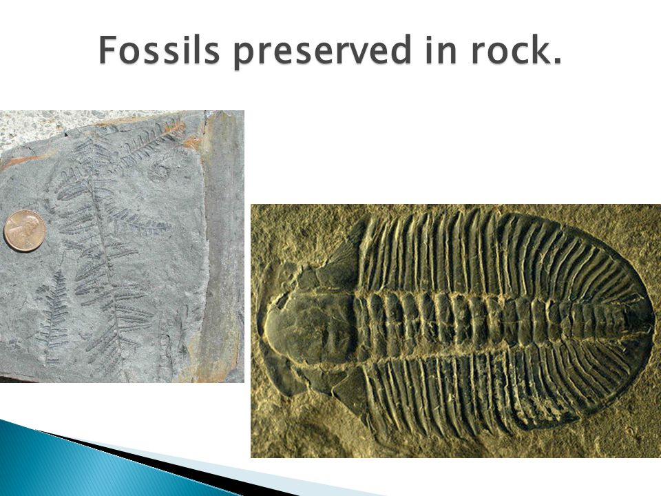 Fossils preserved in rock.