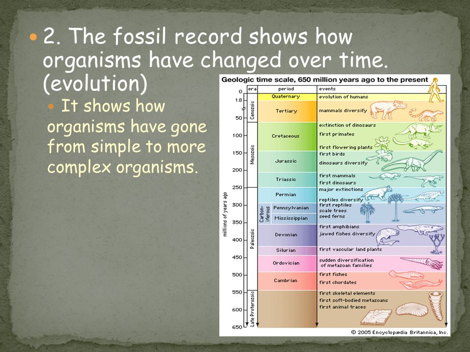 * 2. The fossil record shows how organisms have changed over time. (evolution) It shows how. organisms have gone.