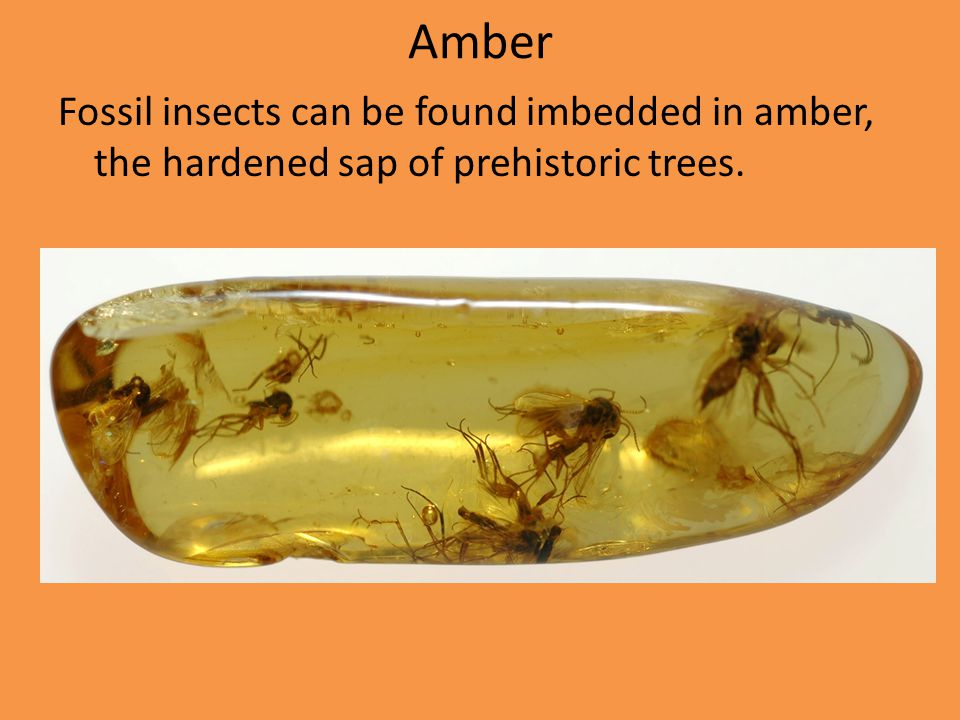 Amber Fossil insects can be found imbedded in amber, the hardened sap of prehistoric trees.