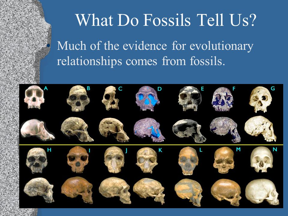 What Do Fossils Tell Us Much of the evidence for evolutionary relationships comes from fossils.