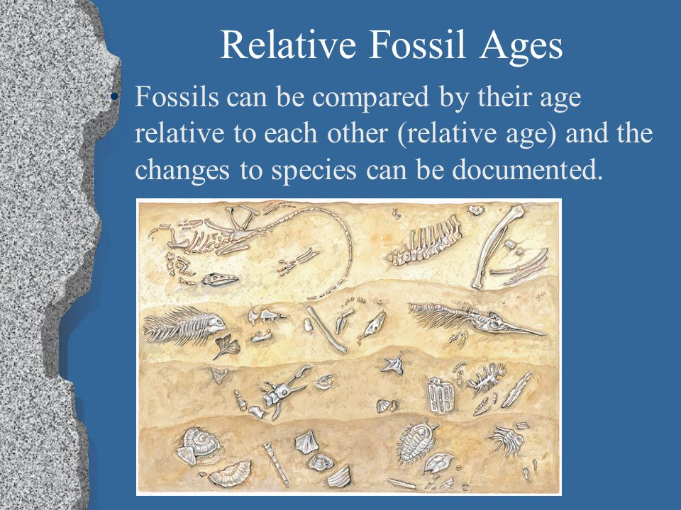 Relative Fossil Ages Fossils can be compared by their age relative to each other (relative age) and the changes to species can be documented.