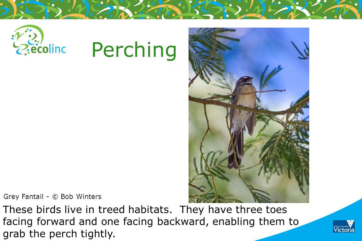 Perching Grey Fantail - © Bob Winters.