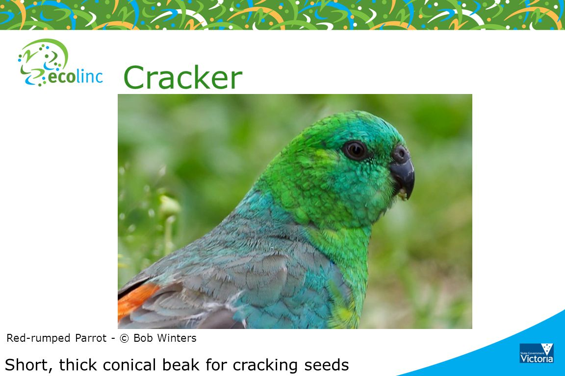 Cracker Short, thick conical beak for cracking seeds
