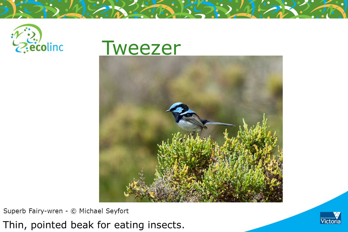 Tweezer Thin, pointed beak for eating insects.