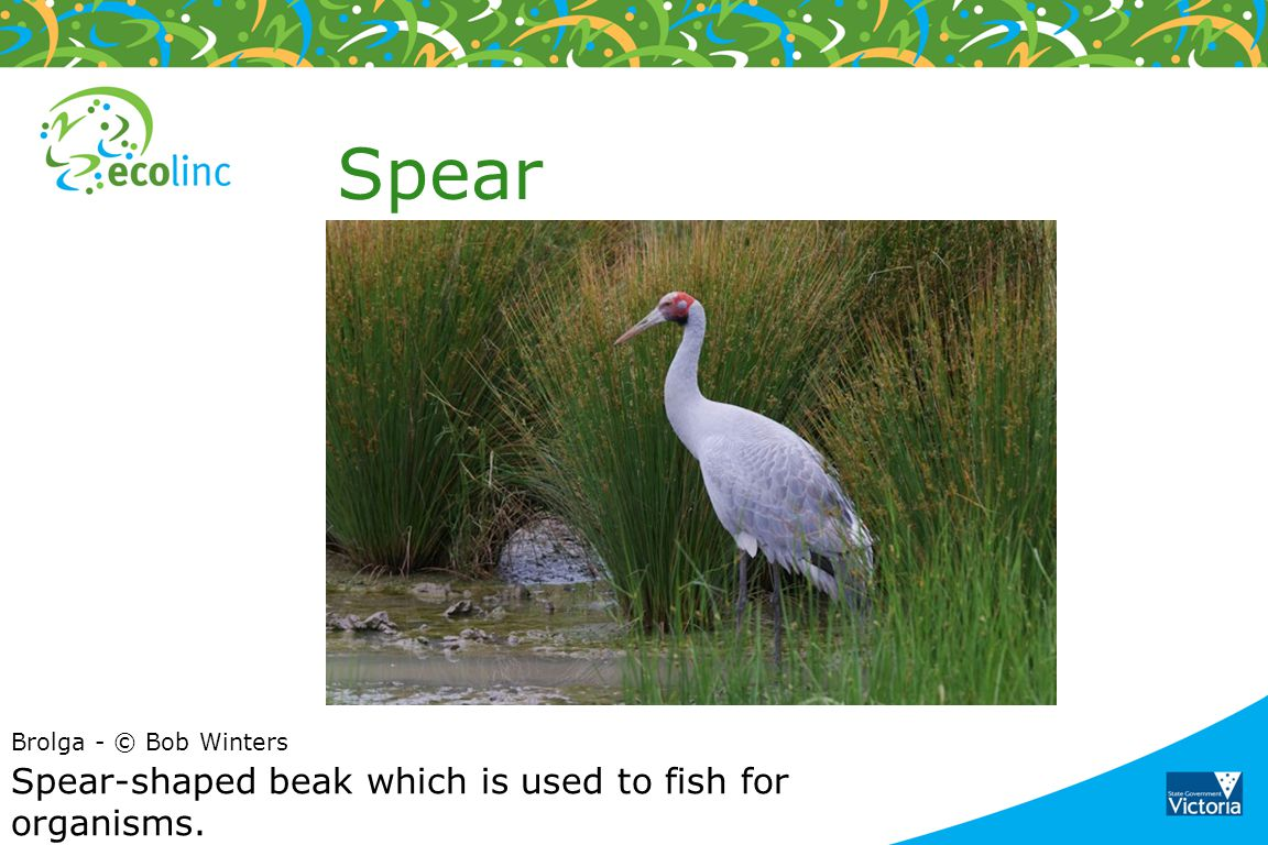 Spear Spear-shaped beak which is used to fish for organisms.