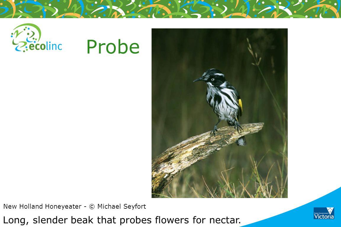 Probe Long, slender beak that probes flowers for nectar.