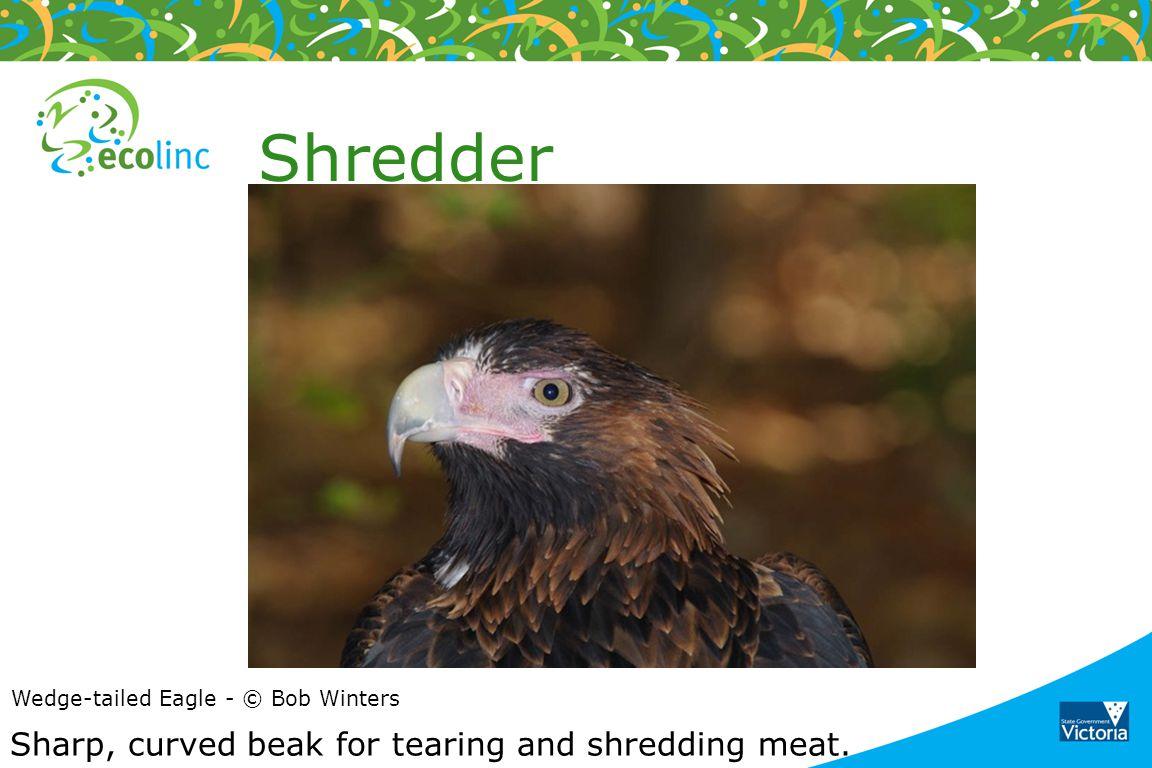 Shredder Sharp, curved beak for tearing and shredding meat.
