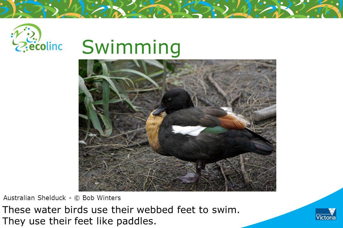 Swimming Australian Shelduck - © Bob Winters. These water birds use their webbed feet to swim.