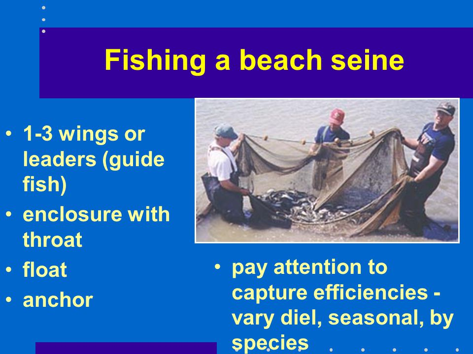 Fishing a beach seine 1-3 wings or leaders (guide fish)
