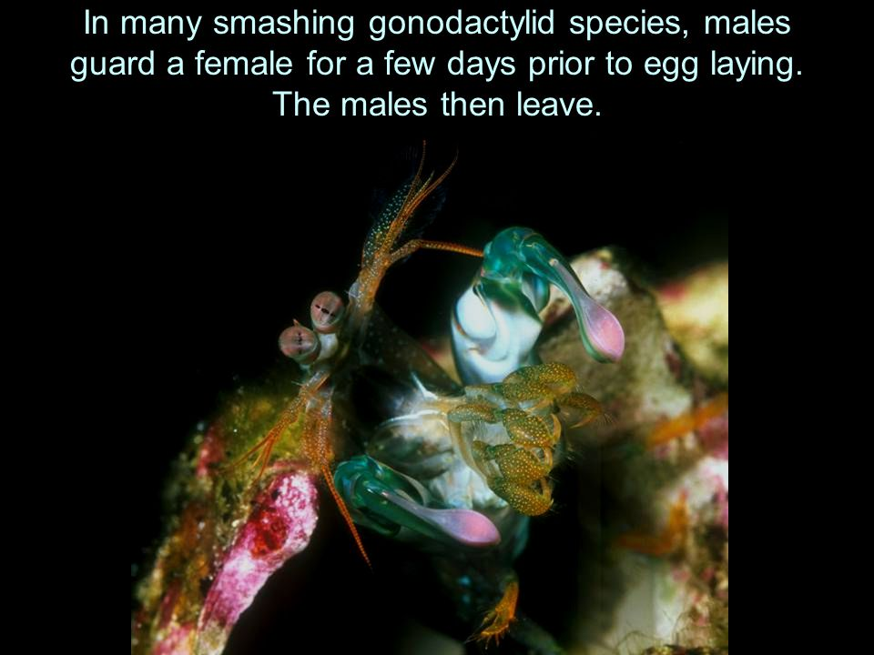 In many smashing gonodactylid species, males guard a female for a few days prior to egg laying.